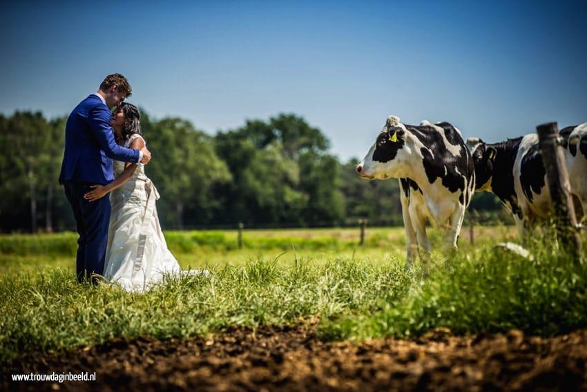 Trouwreportage koeien boerderij Ommel