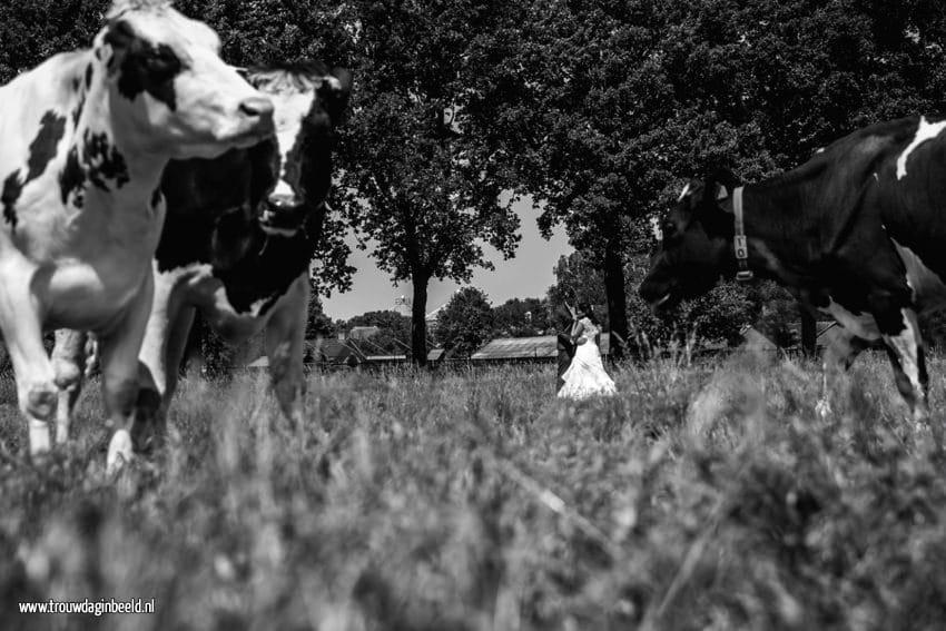 Bruidsfotografie koeien boerderij Ommel